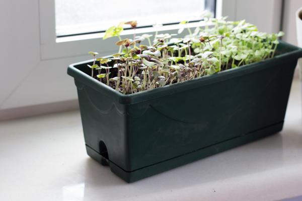 Как вырастить базилик на подоконнике